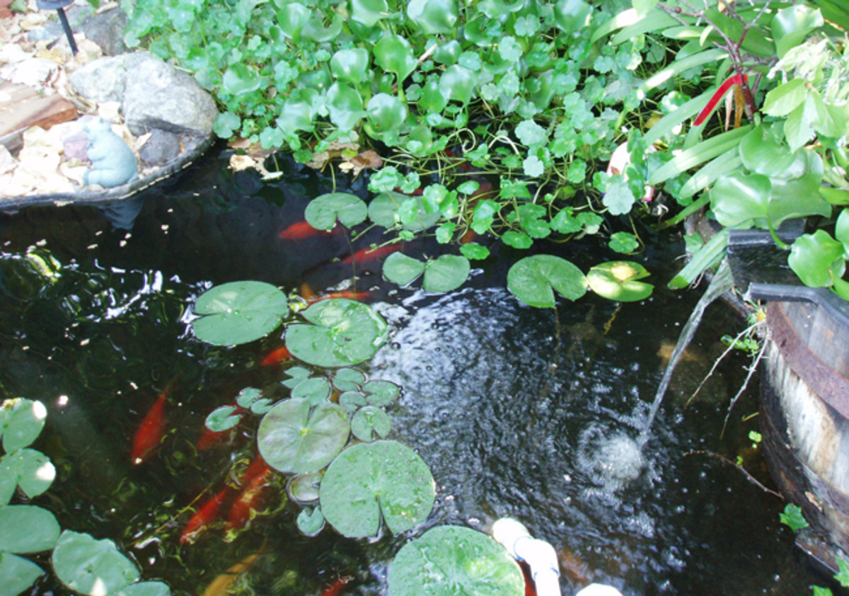 My brother's koi pond, nicely overgrown and shaded with water lilies.