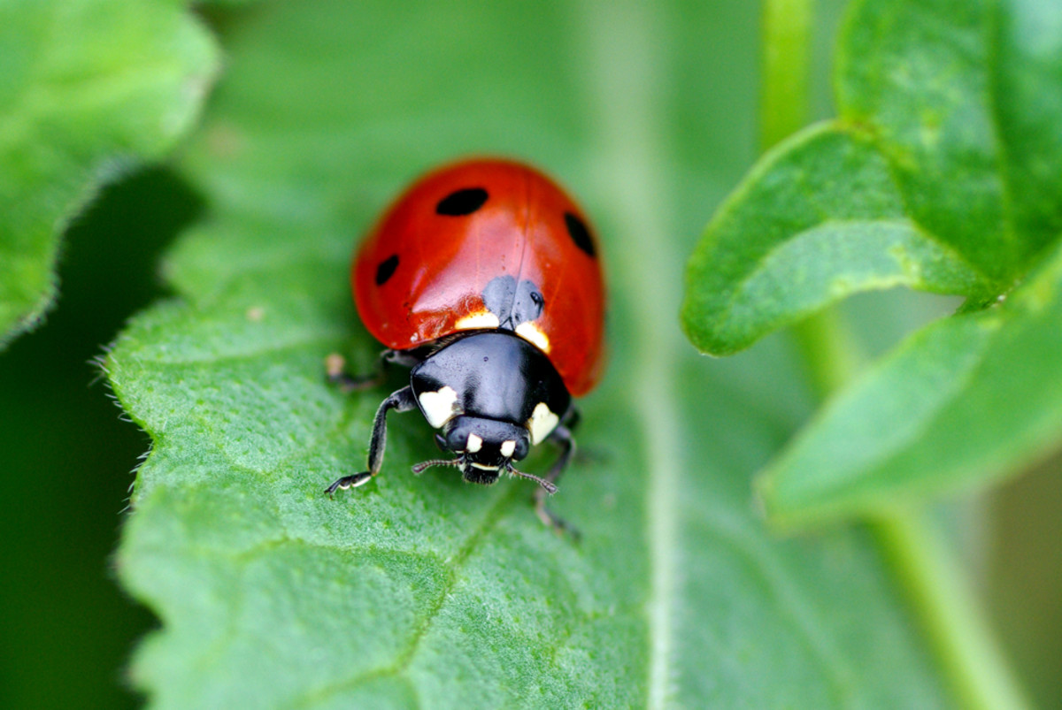 Ladybug Facts And Legends Hubpages