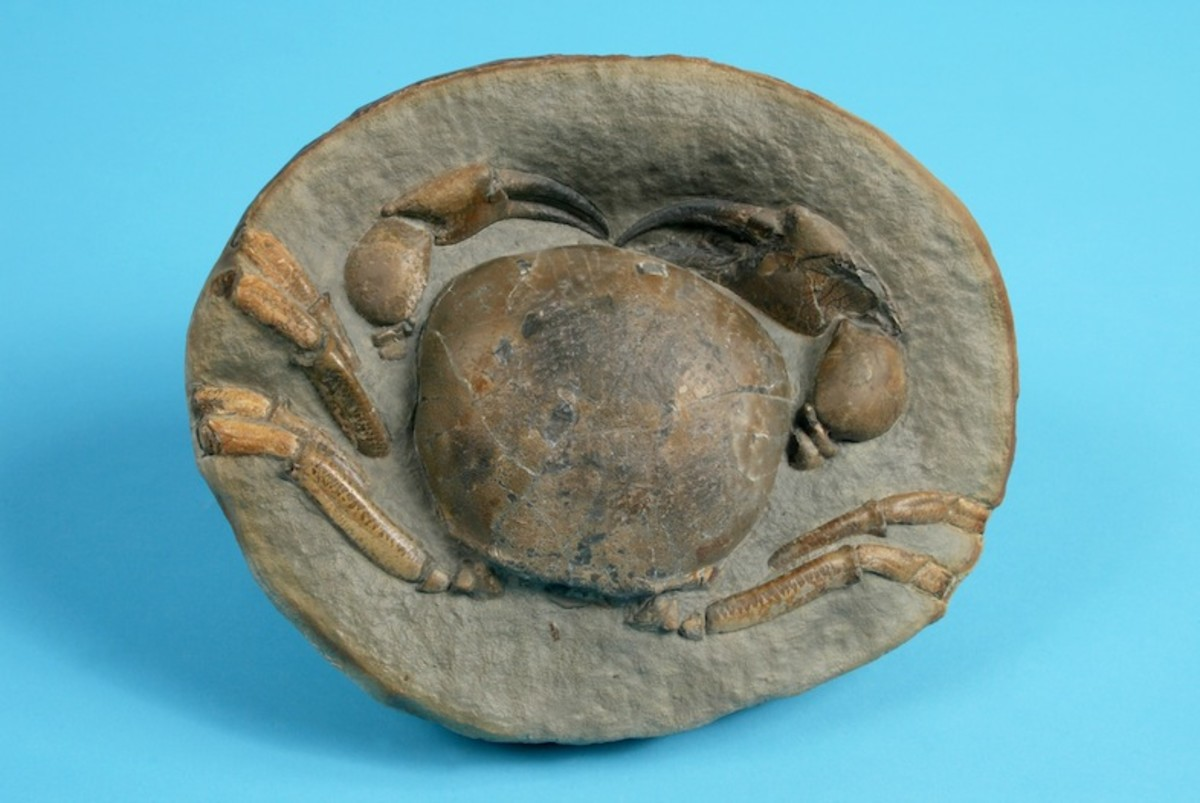 A Miocene crab Tumidocarcinus giganteus in the permanent collection of The Children's Museum of Indiana.
