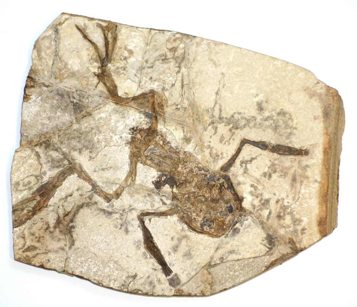 Fossilised Palaeobatrachus gigas.