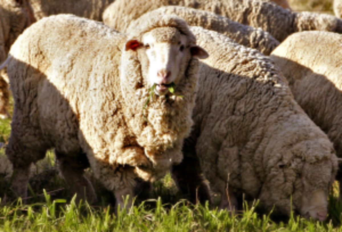 breeding-sheep-a-guide-for-the-task