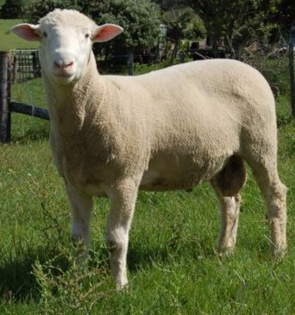 A Dorset ram of the polled (without horns) variety
