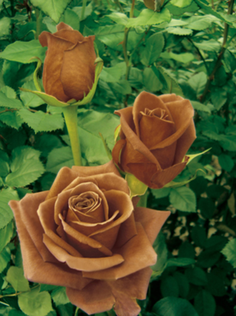 Brown Roses - Appreciation Meaning