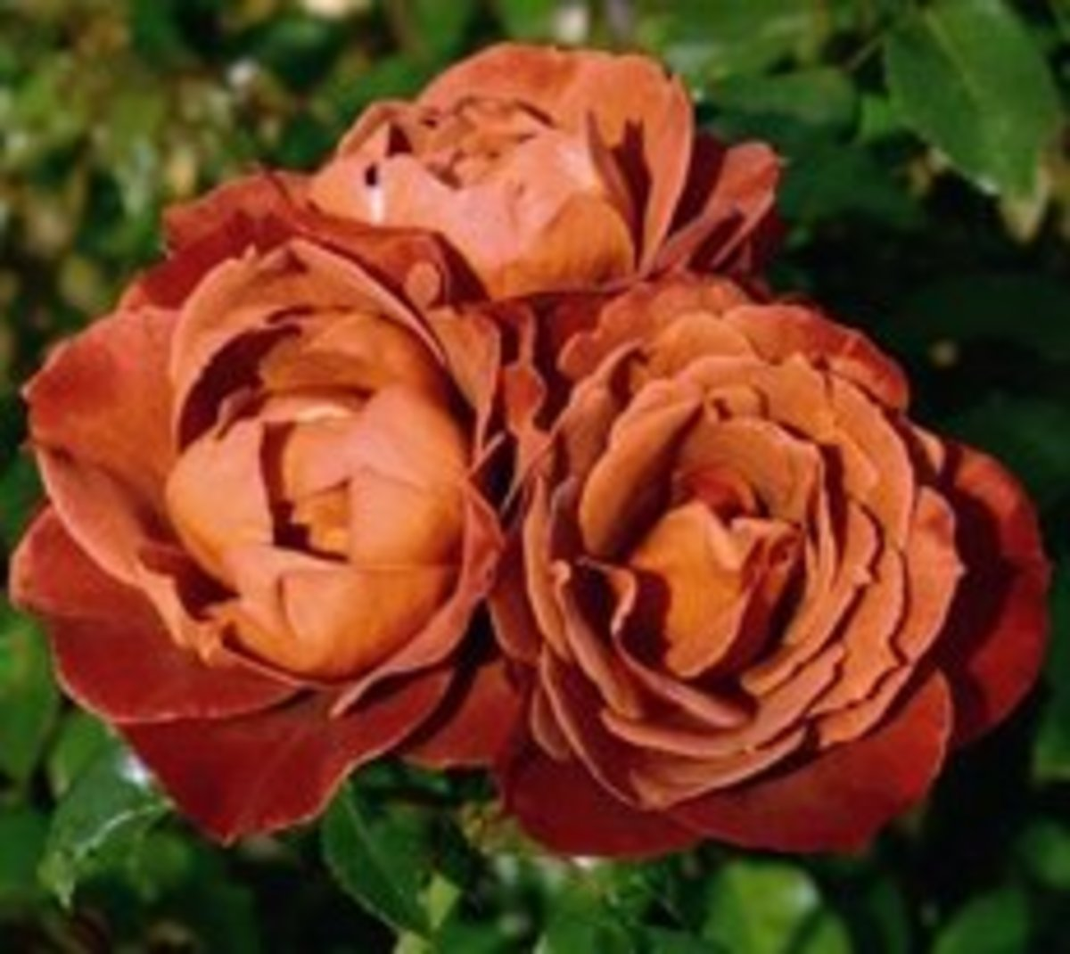 Brown Roses - Friendship Meaning