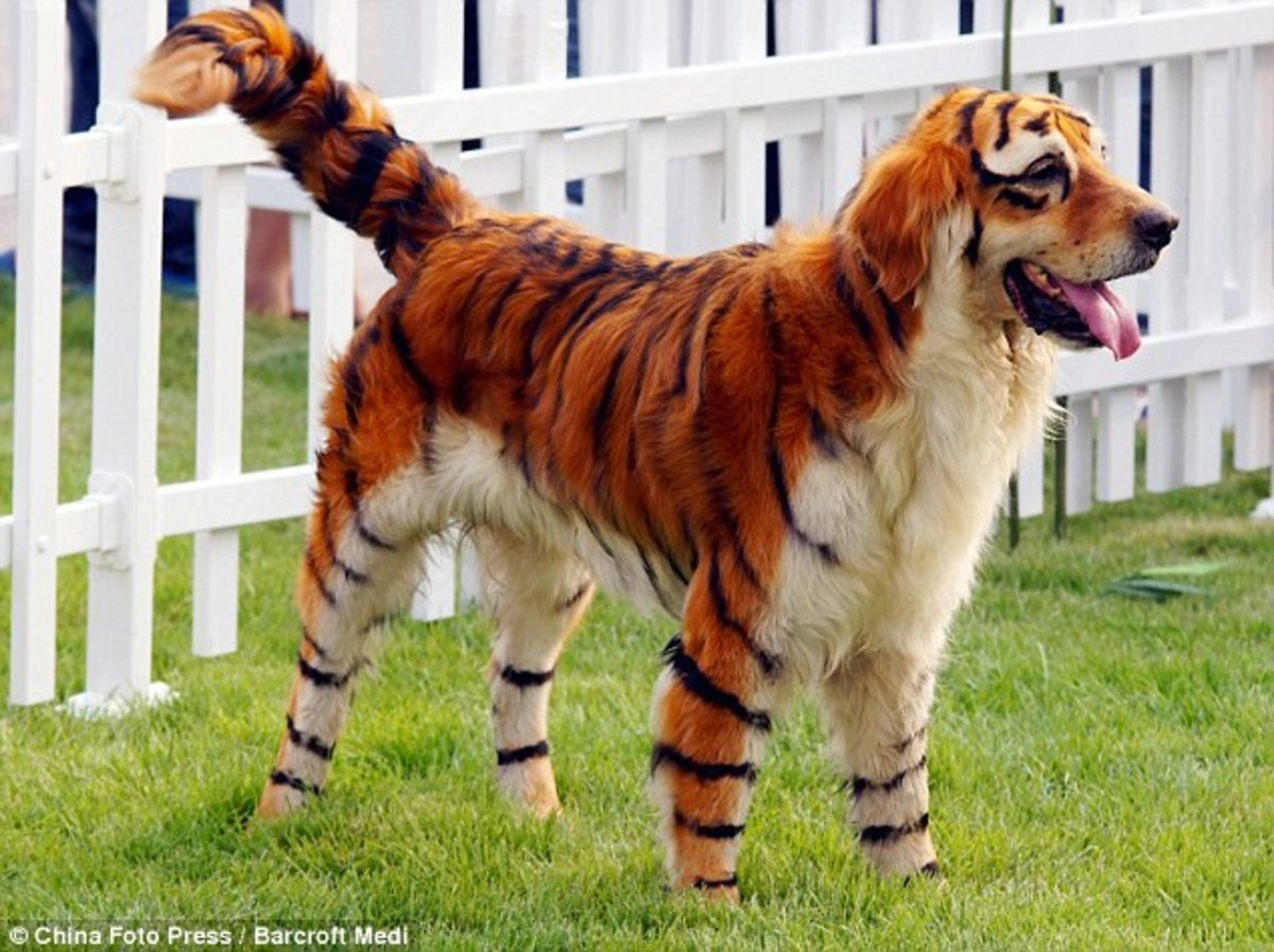 Dog Hair Dye Tiger!