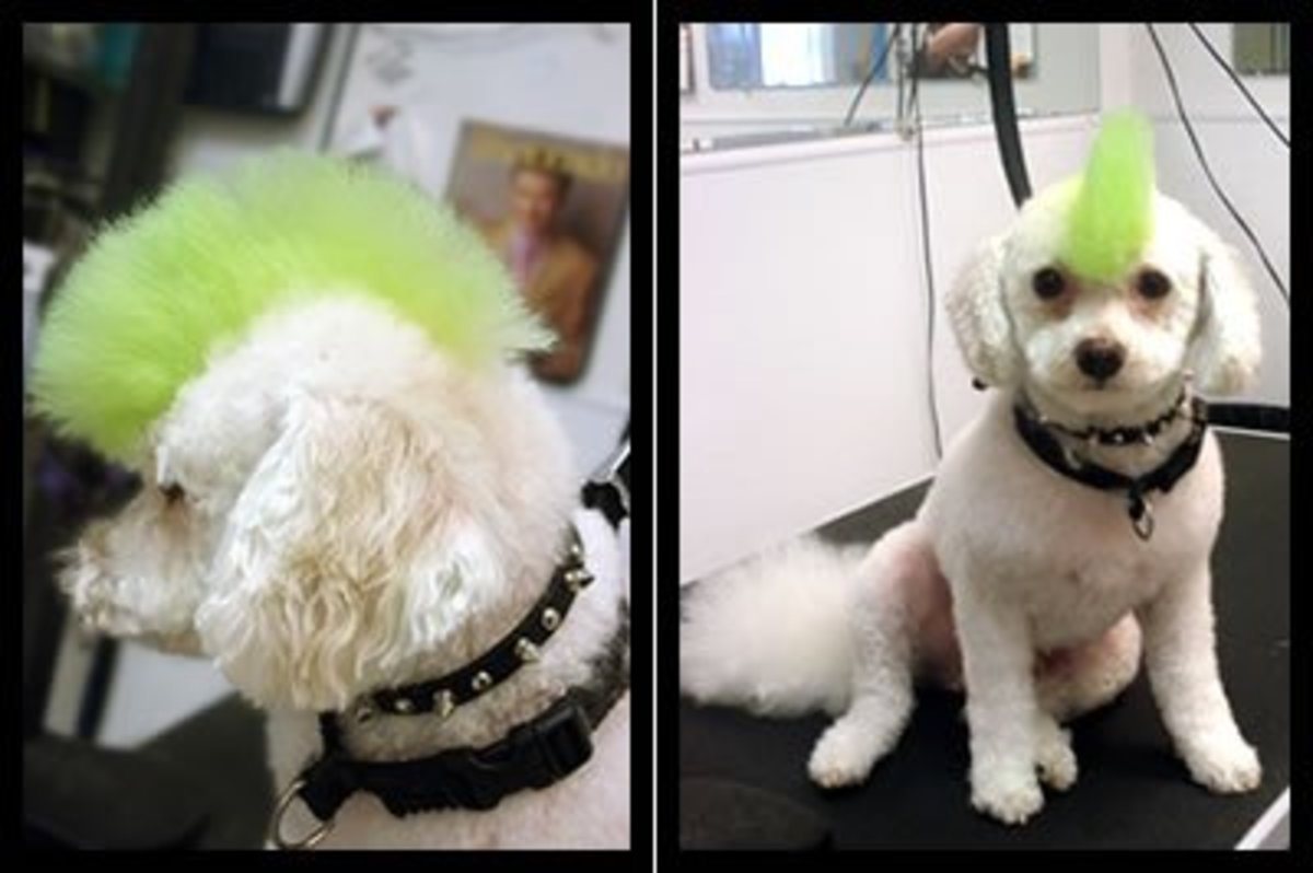 Dog Hair Dye Punk!