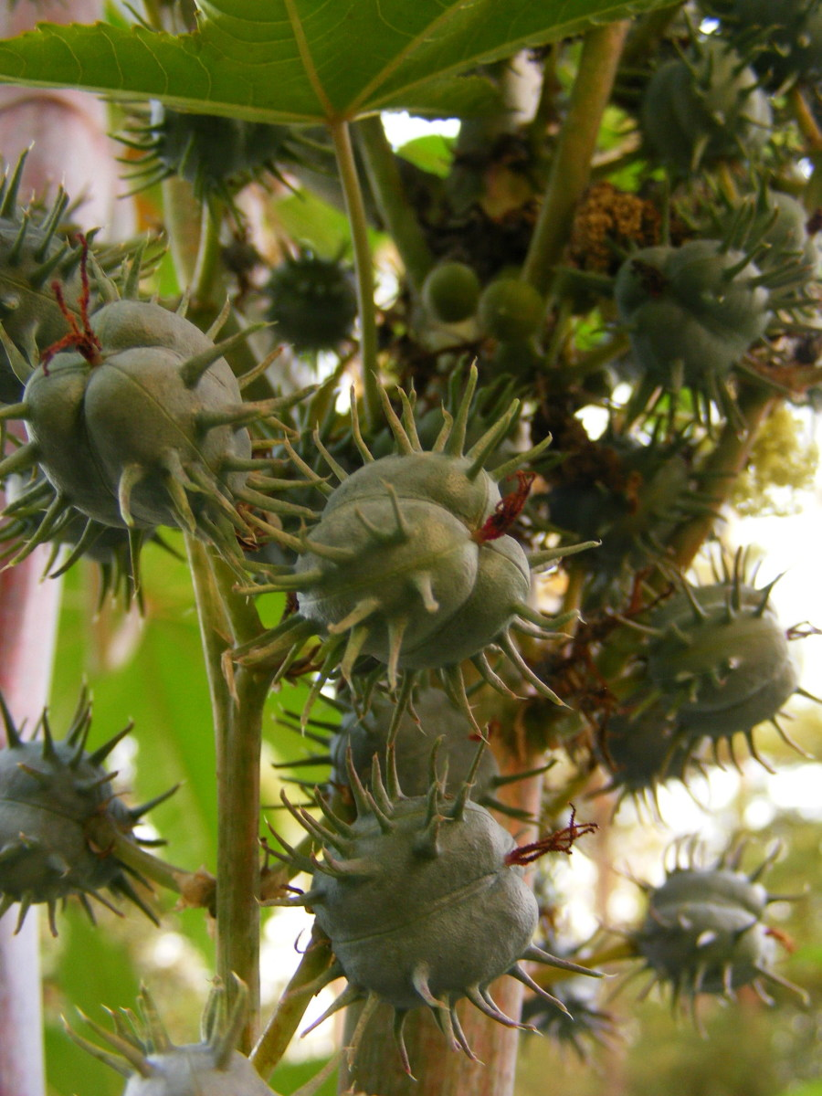 unripe seed pods