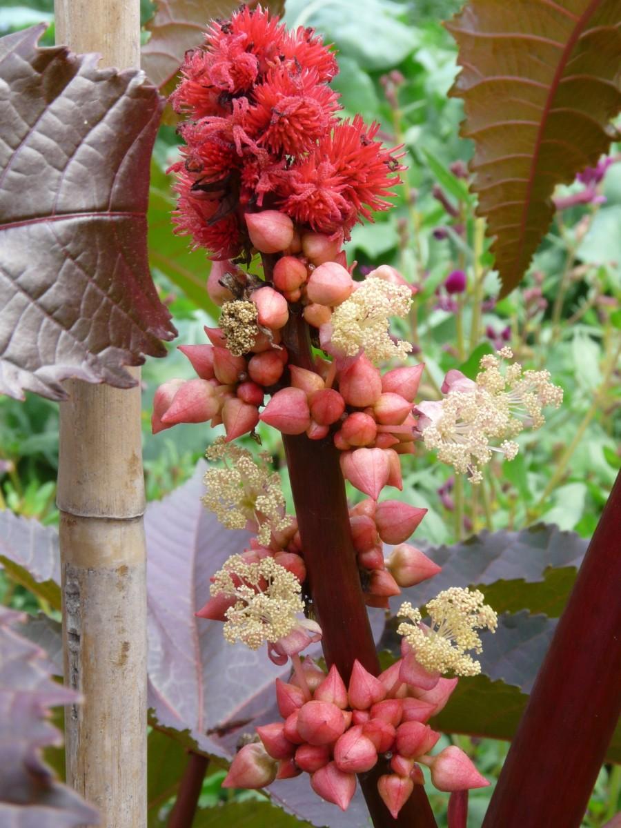 Castor flowers