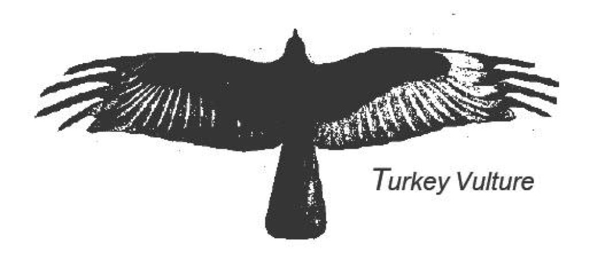 Turkey Vulture- Bent leading edge of wings; long feathers on wing tips
