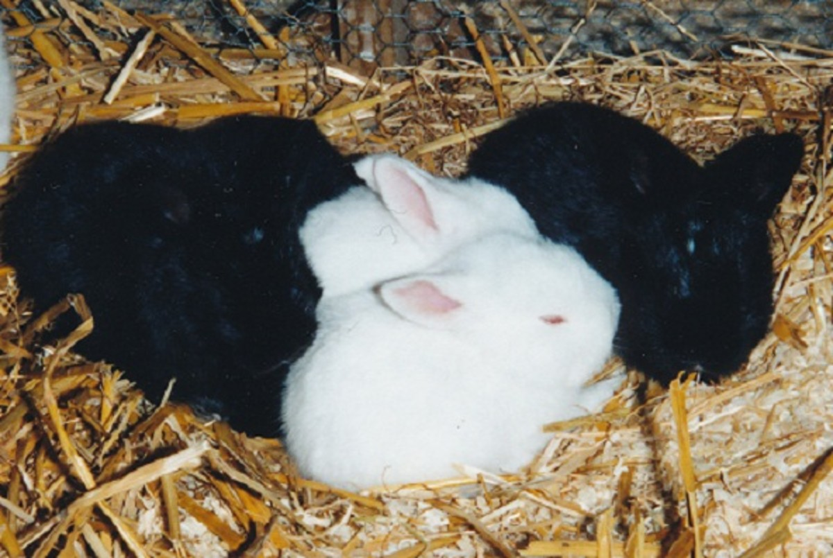 angora rabbit kits have short coats