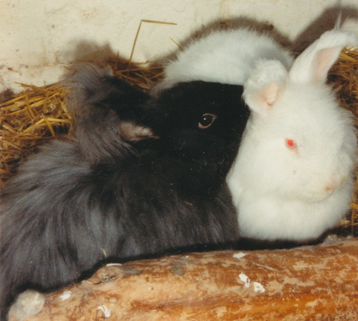 Angora rabbit friends