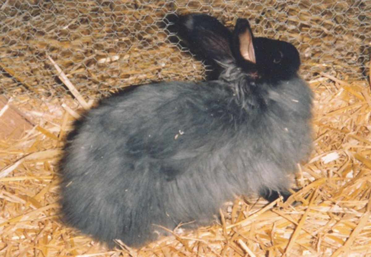 You must be prepared to care for the coat of an adult angora rabbit