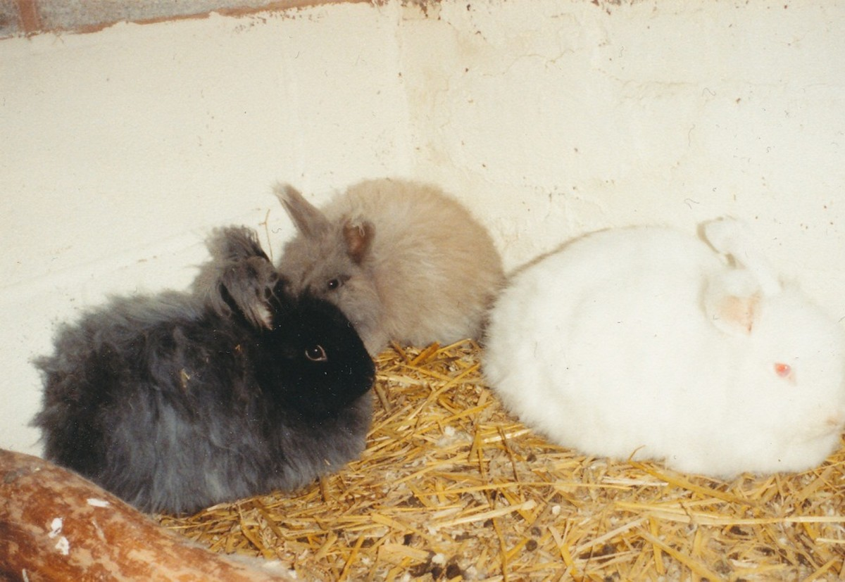 Black, fawn and albino angora rabbits
