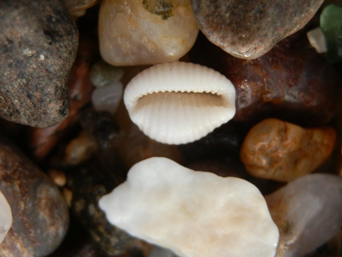 a cowrie shell in the shingle