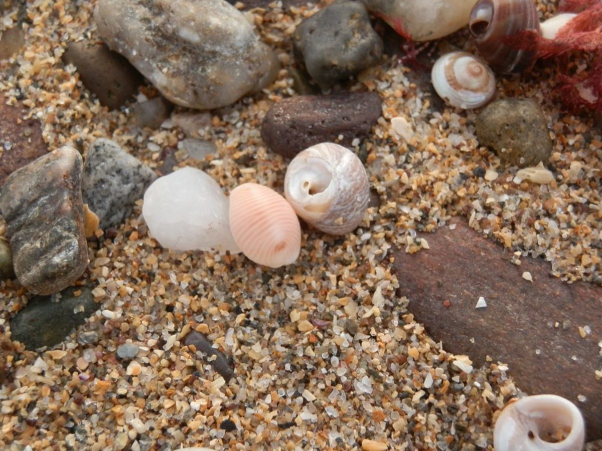 a single cowrie shell (Trivia monacha) on the beach
