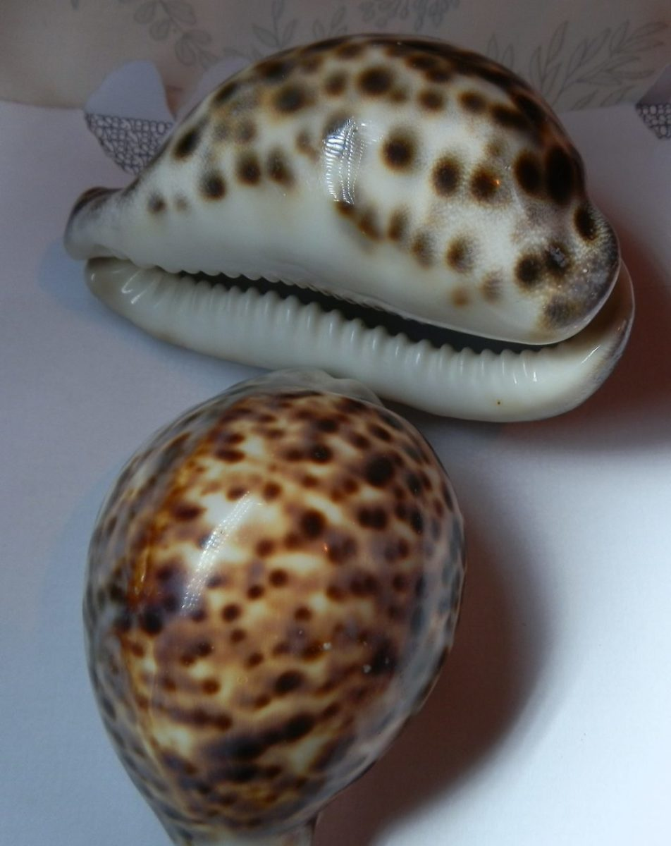 ornamental tiger cowries