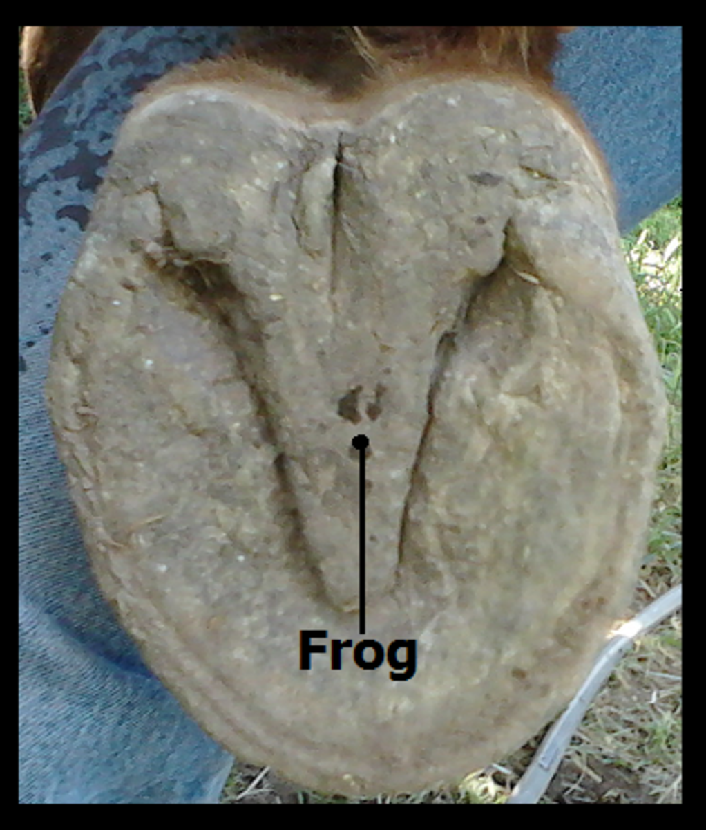 The Under-hoof.  Identifying the Frog (looks like an owl)