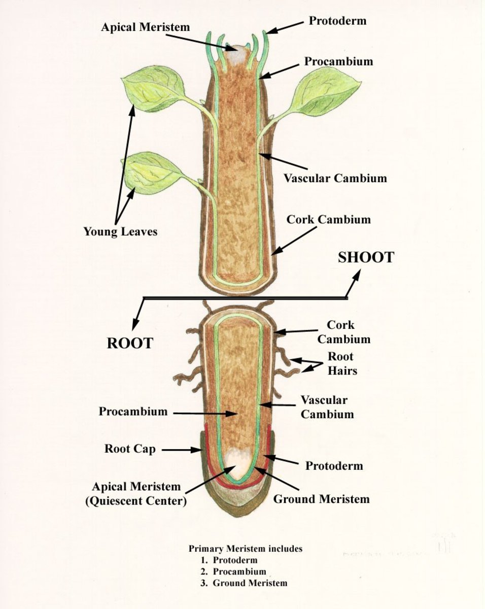 Internal Structure of Root