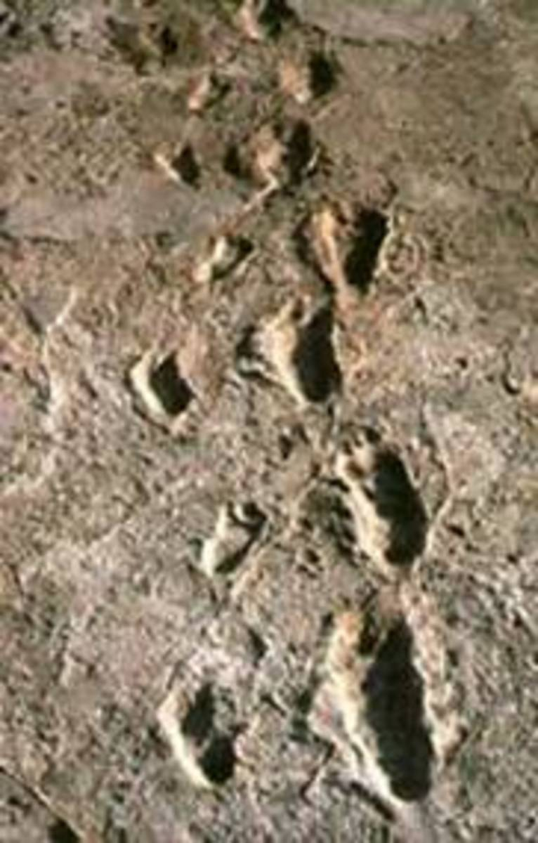 These world famous footprints at Laetoli, Tanzania were probably made by an australopithecine some 3.5 million years ago.