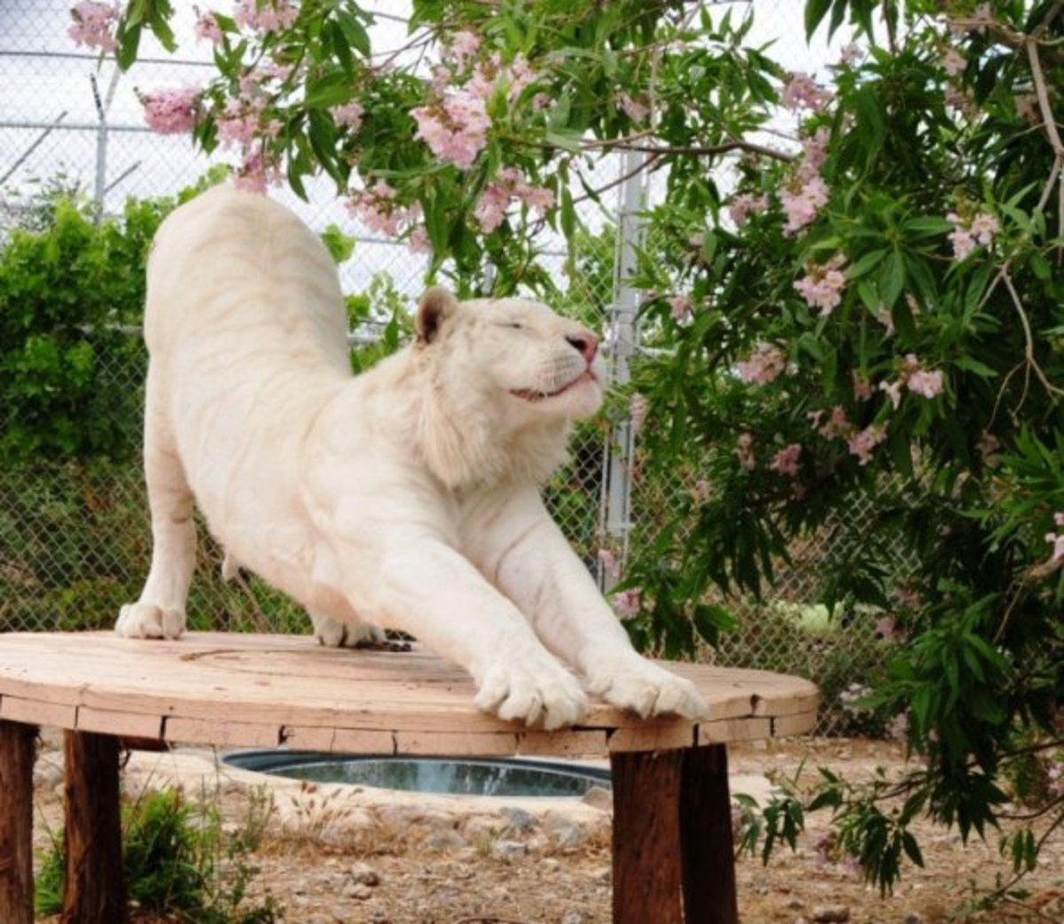 White tiger stretches in his enclosure
