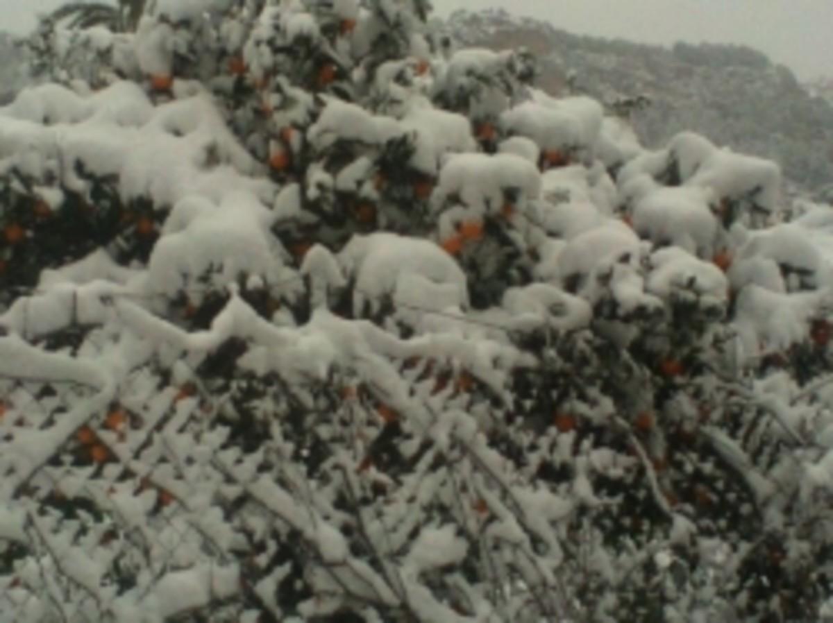 Snow on Orange trees in Soller