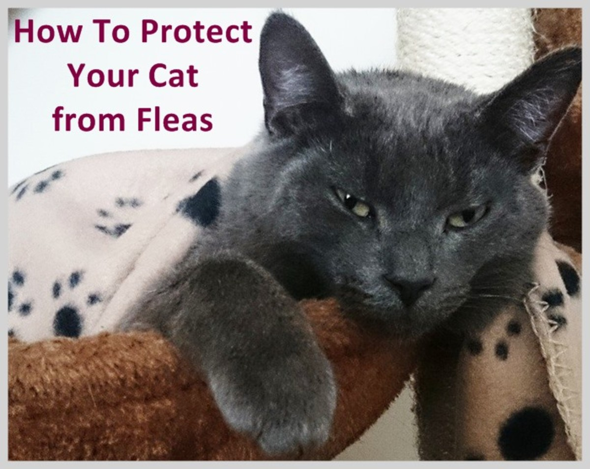 How to Protect Cats from Fleas