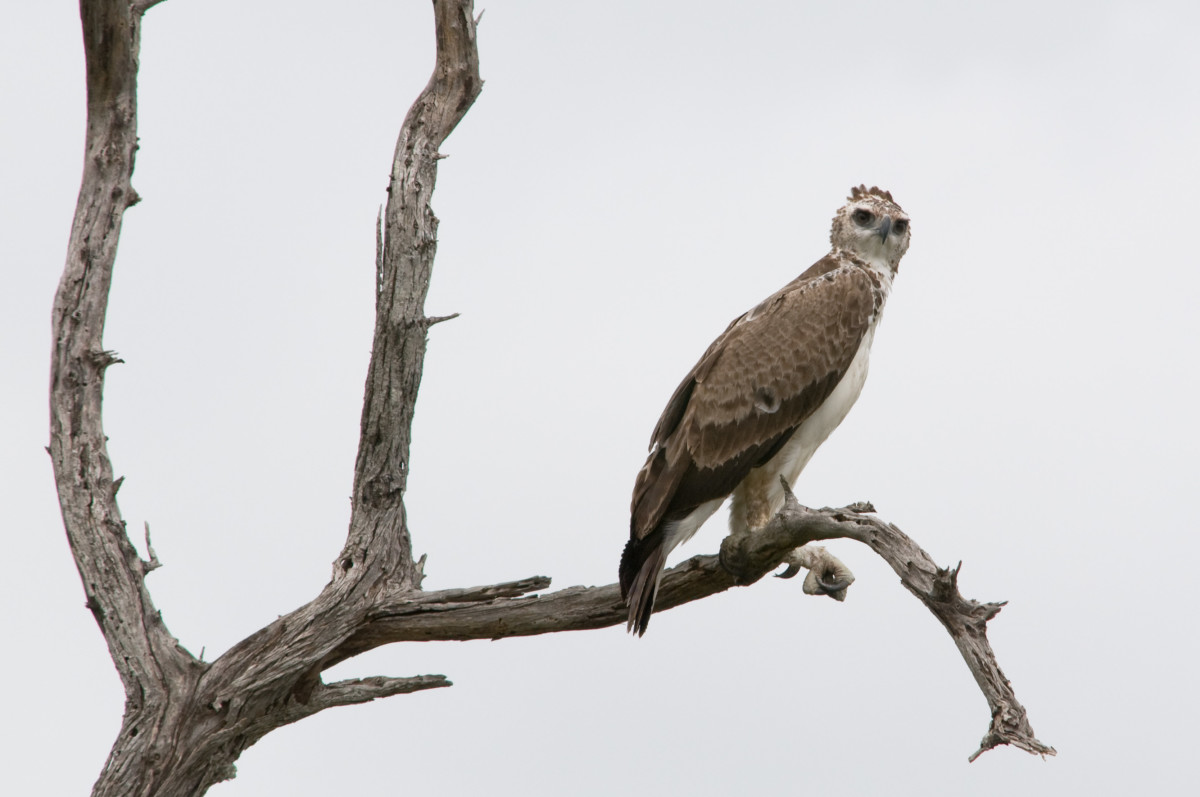 A young Martial Eagle