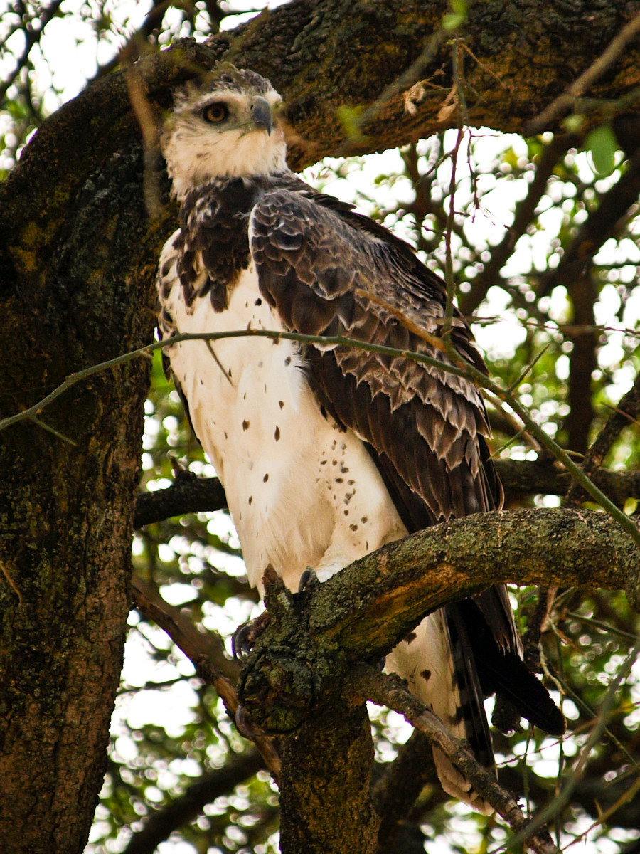 A young Martial Eagle.  His plumage is not yet fully developed.