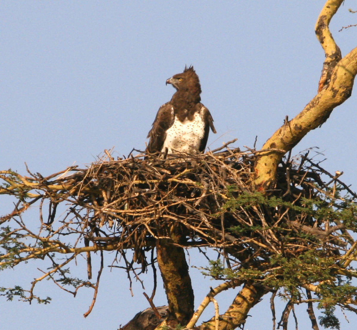 Martial Eagle in its nest
