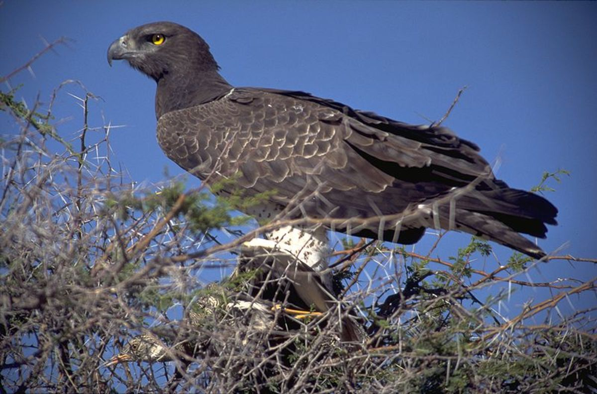 Birds of Prey:  The Martial Eagle
