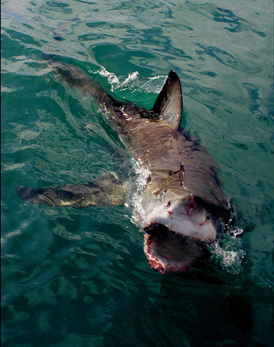 Shark Attacks 2013   HubPages