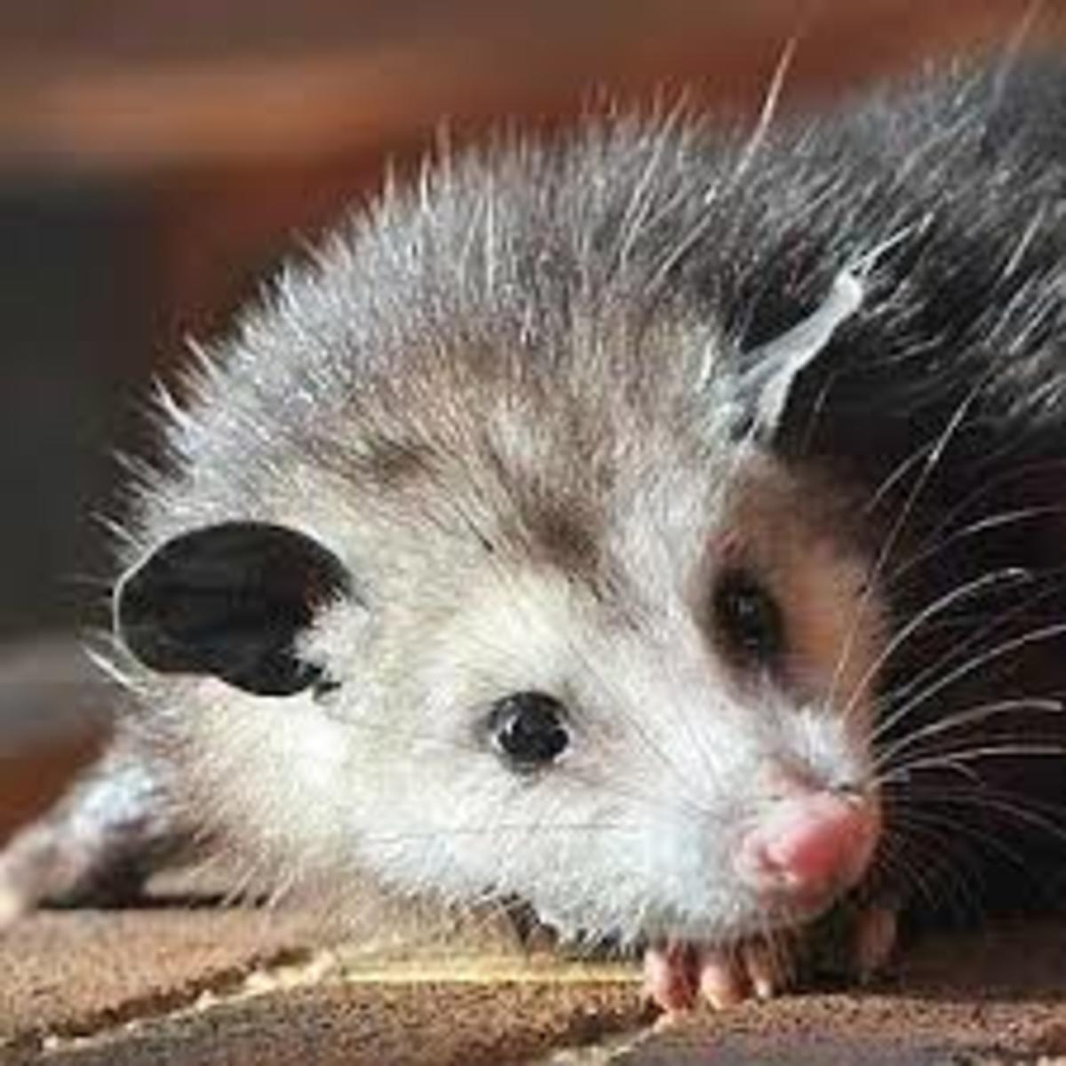 a-possum-is-not-a-throw-away-animal