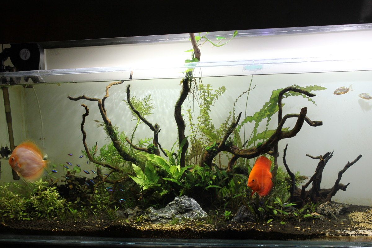 My Six Foot Planted Nature Aquarium with a white opague background.