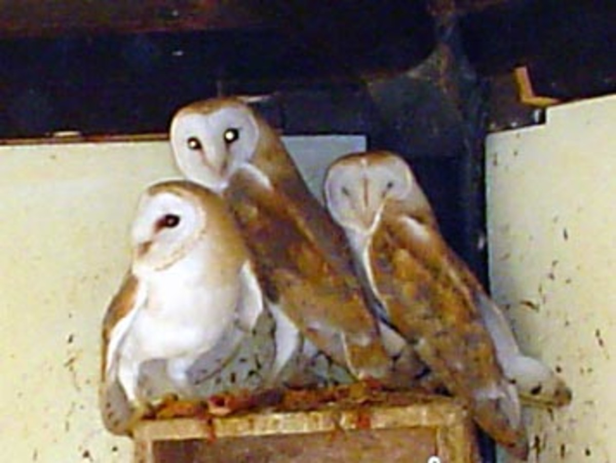 Is a barn owl the real Green Monster of Flatwoods?