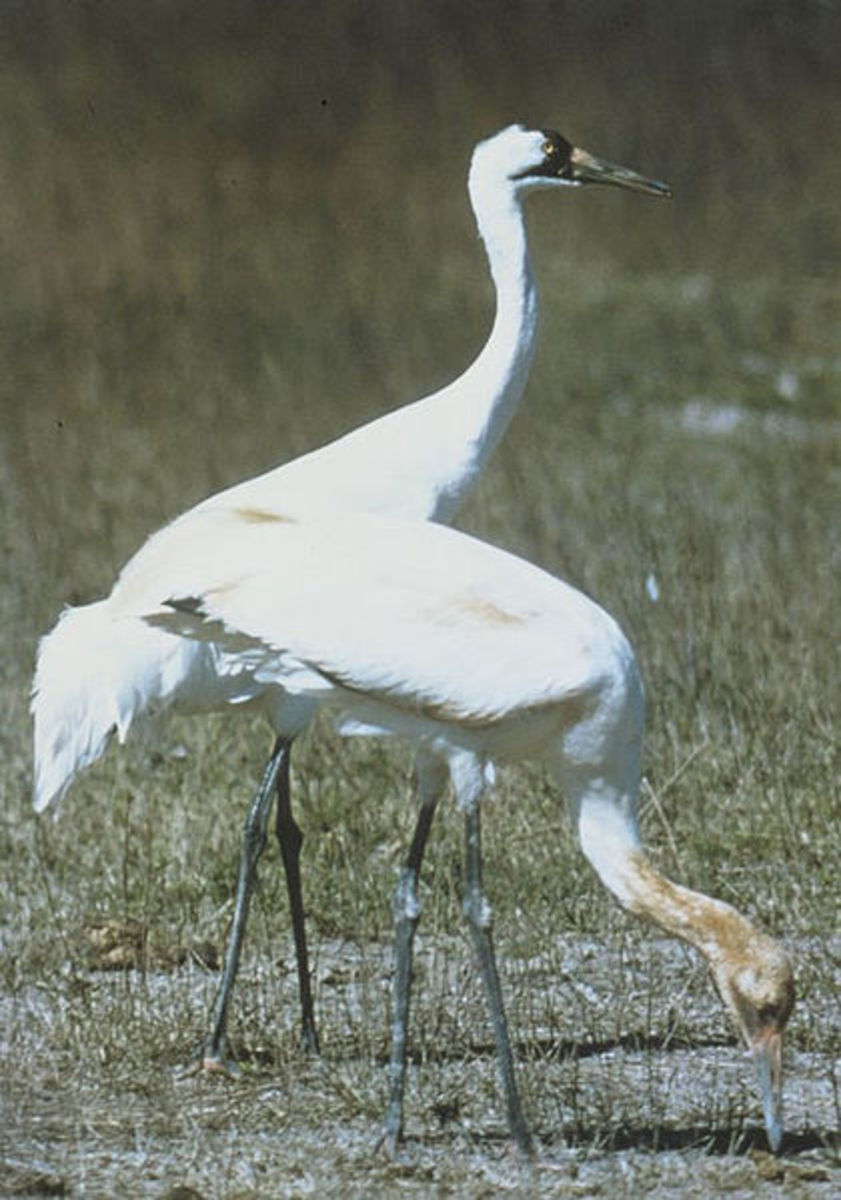 Two North American whooping cranes.