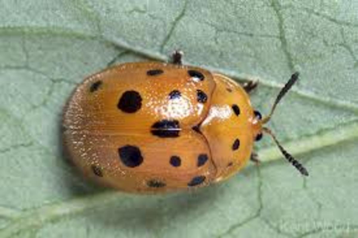Another plant eater: Mexican Bean Beetle