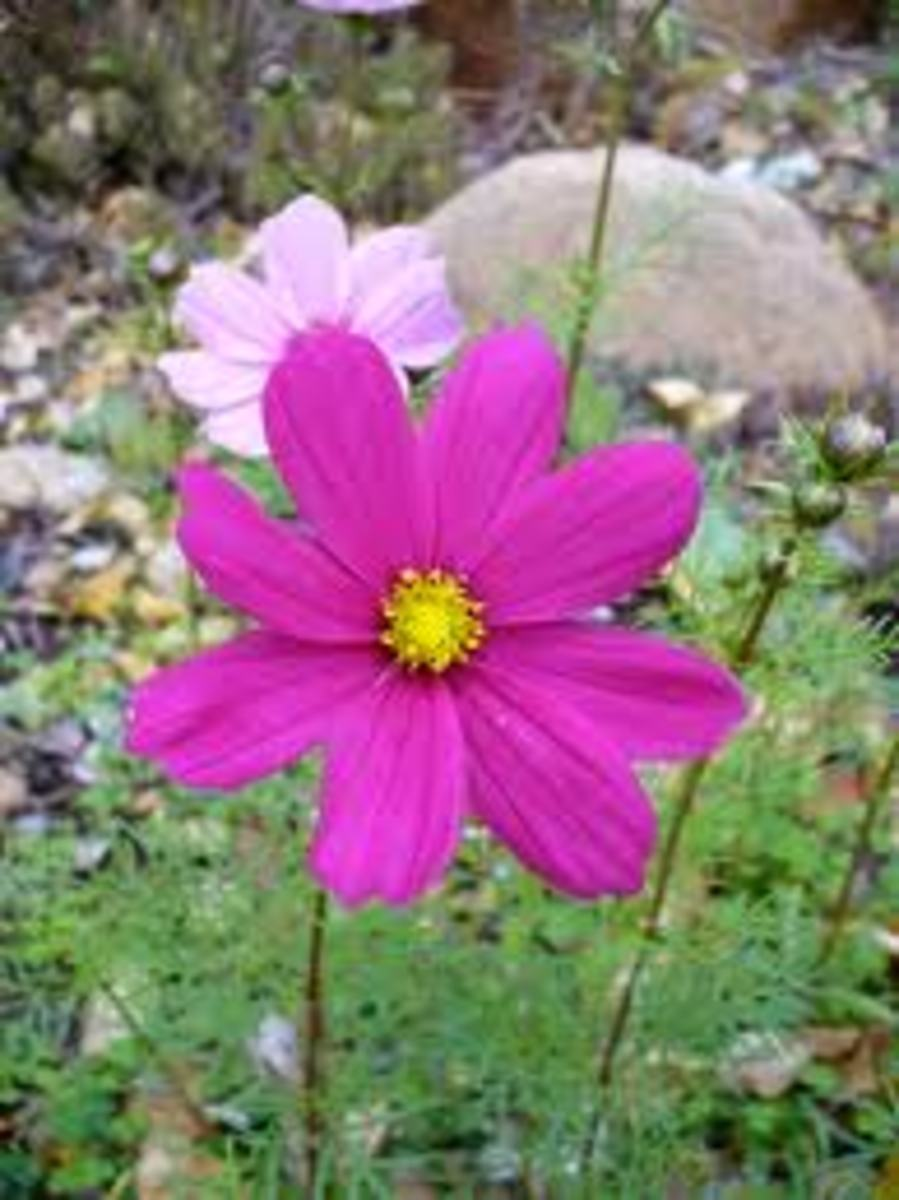 Cosmos Flowers for ladybugs