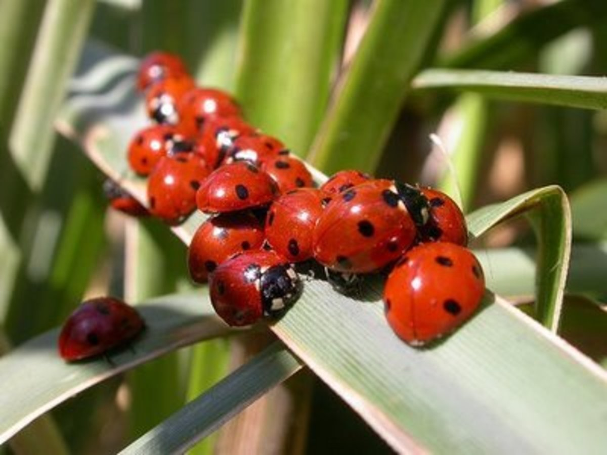 Attracting Ladybugs to your garden
