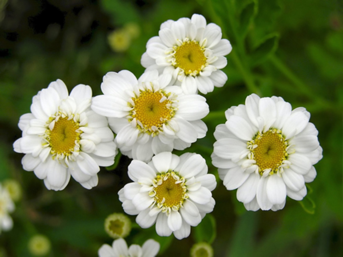 Feverfew attract ladybugs and are also used for their medicinal properties.