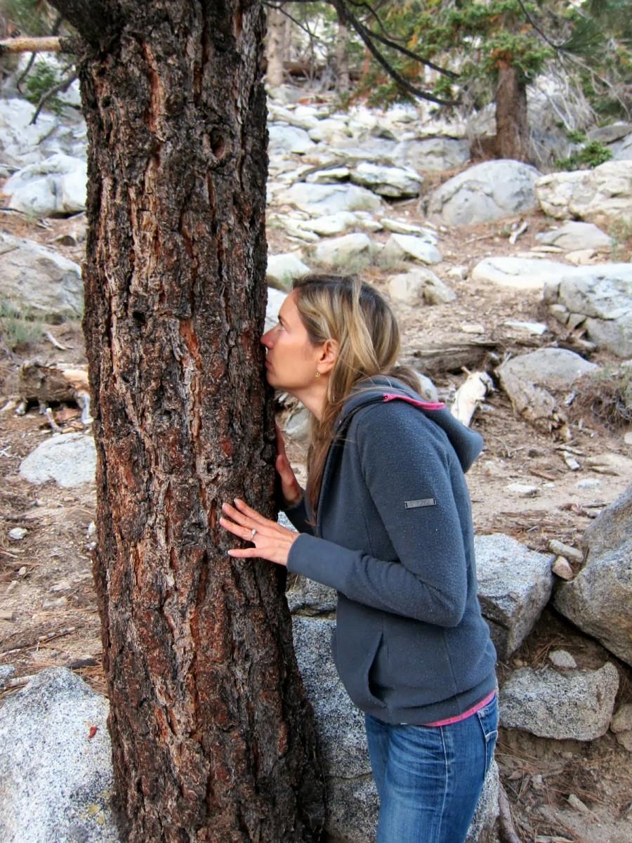 A West Coast Mystery: The Butterscotch Tree, aka Jeffrey Pine