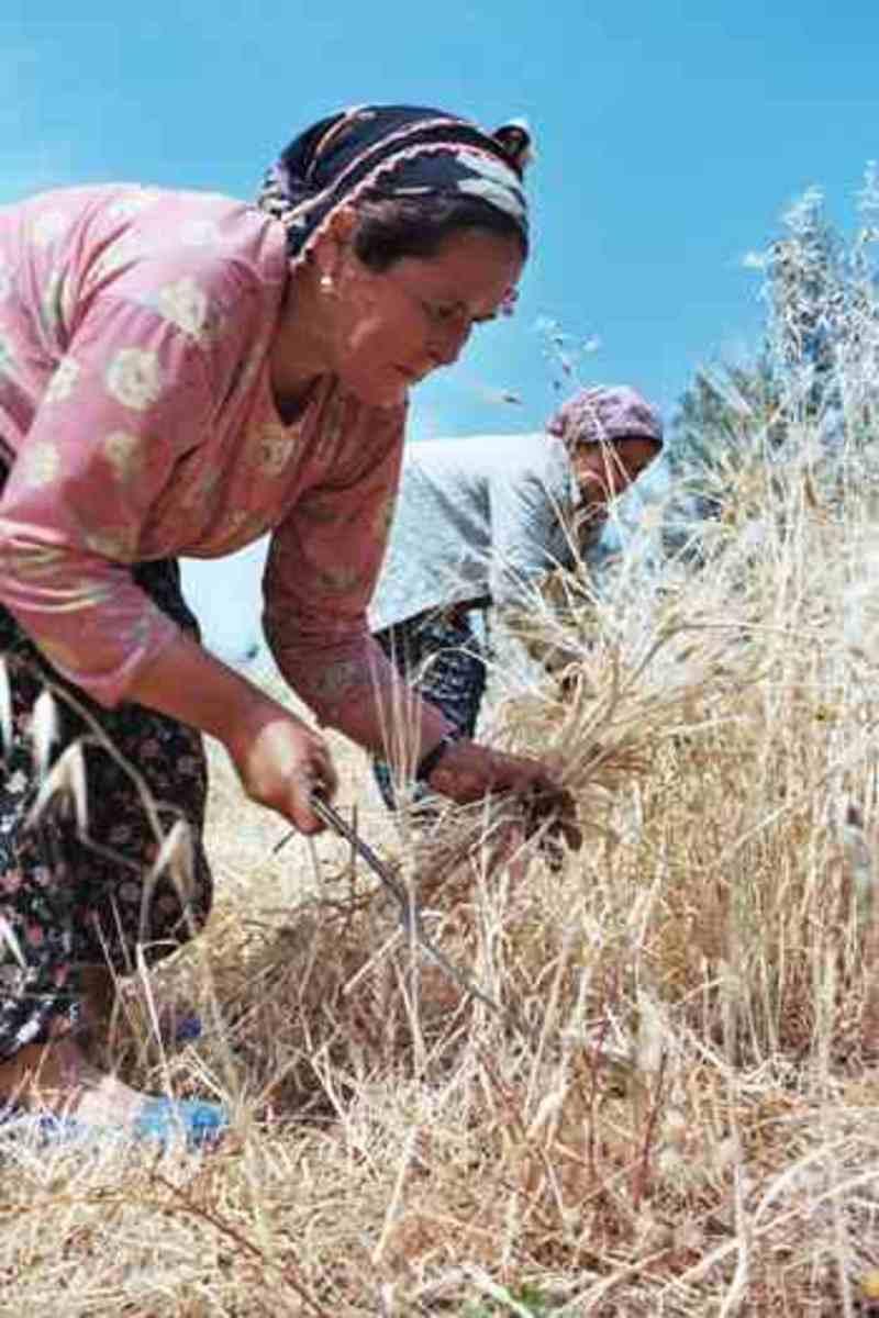 Wheat  harvest Turkey public domain