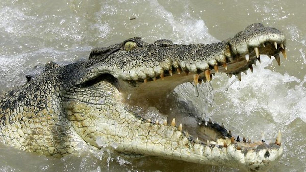A Saltwater Crocodile in pursuit.