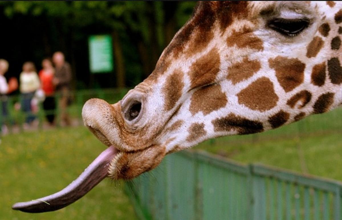 the-best-giraffe-gifts