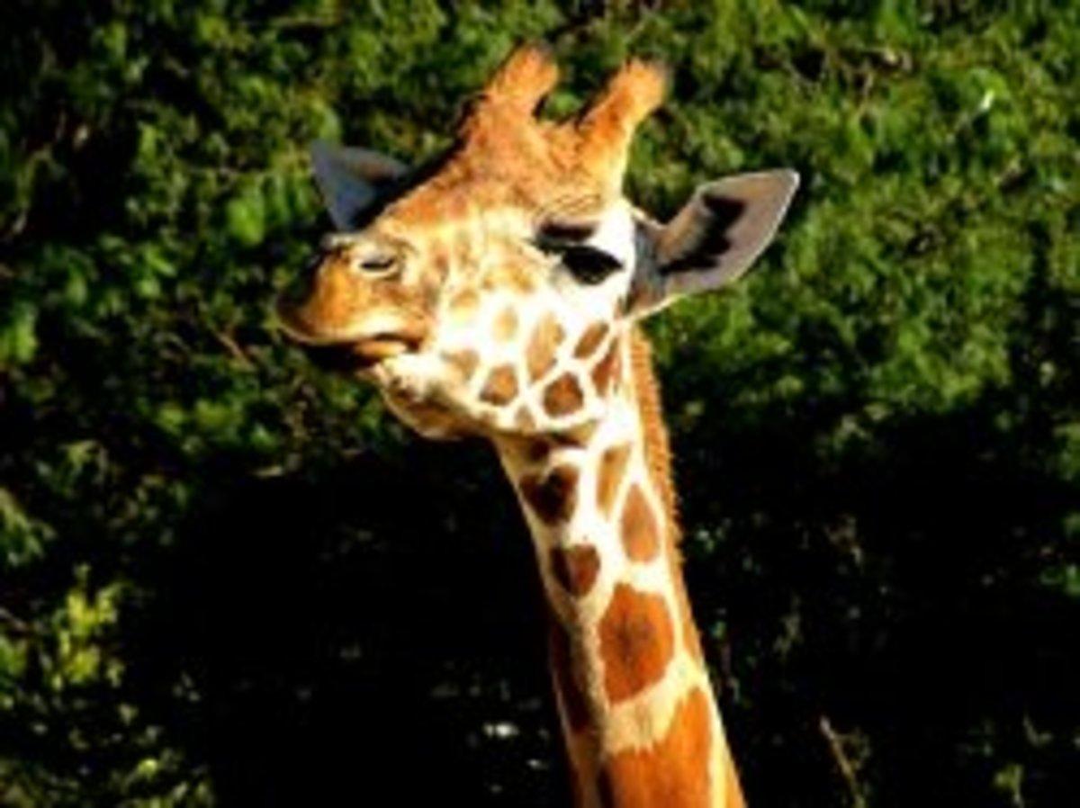 Gorgeous giraffe at Taronga Zoo in Syndey
