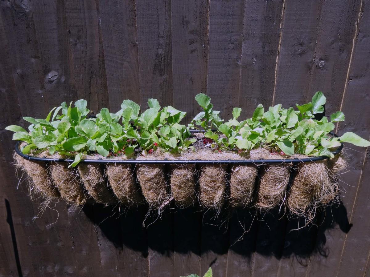 Hanging basket growing radishes