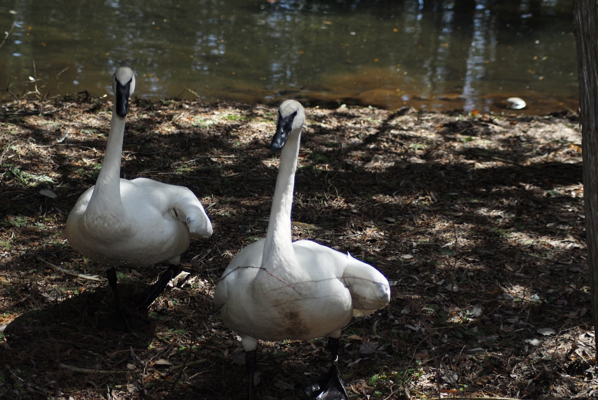 Saving Trumpeter Swans at Lonesome Lake