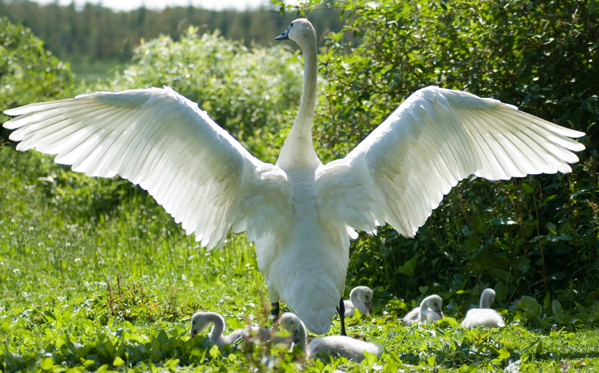 Photo: Trumpeter Swan Stretches its Wings