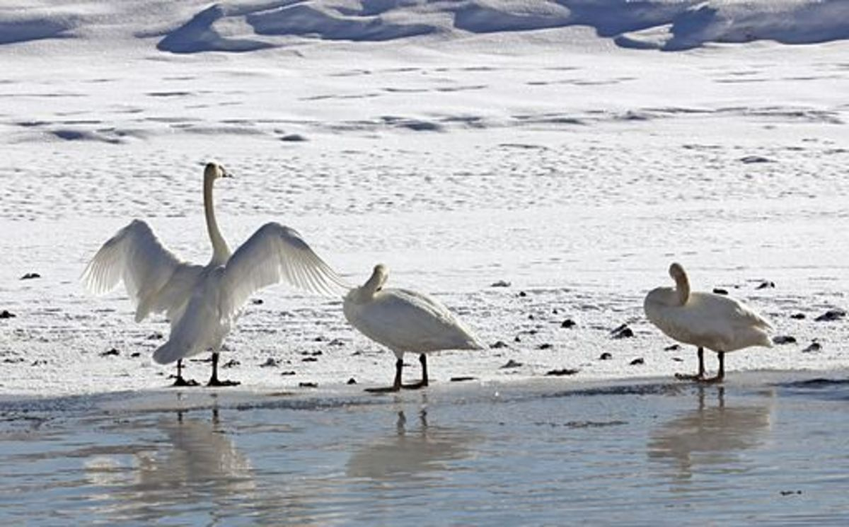 saving-trumpeter-swans-at-lonesome-lake