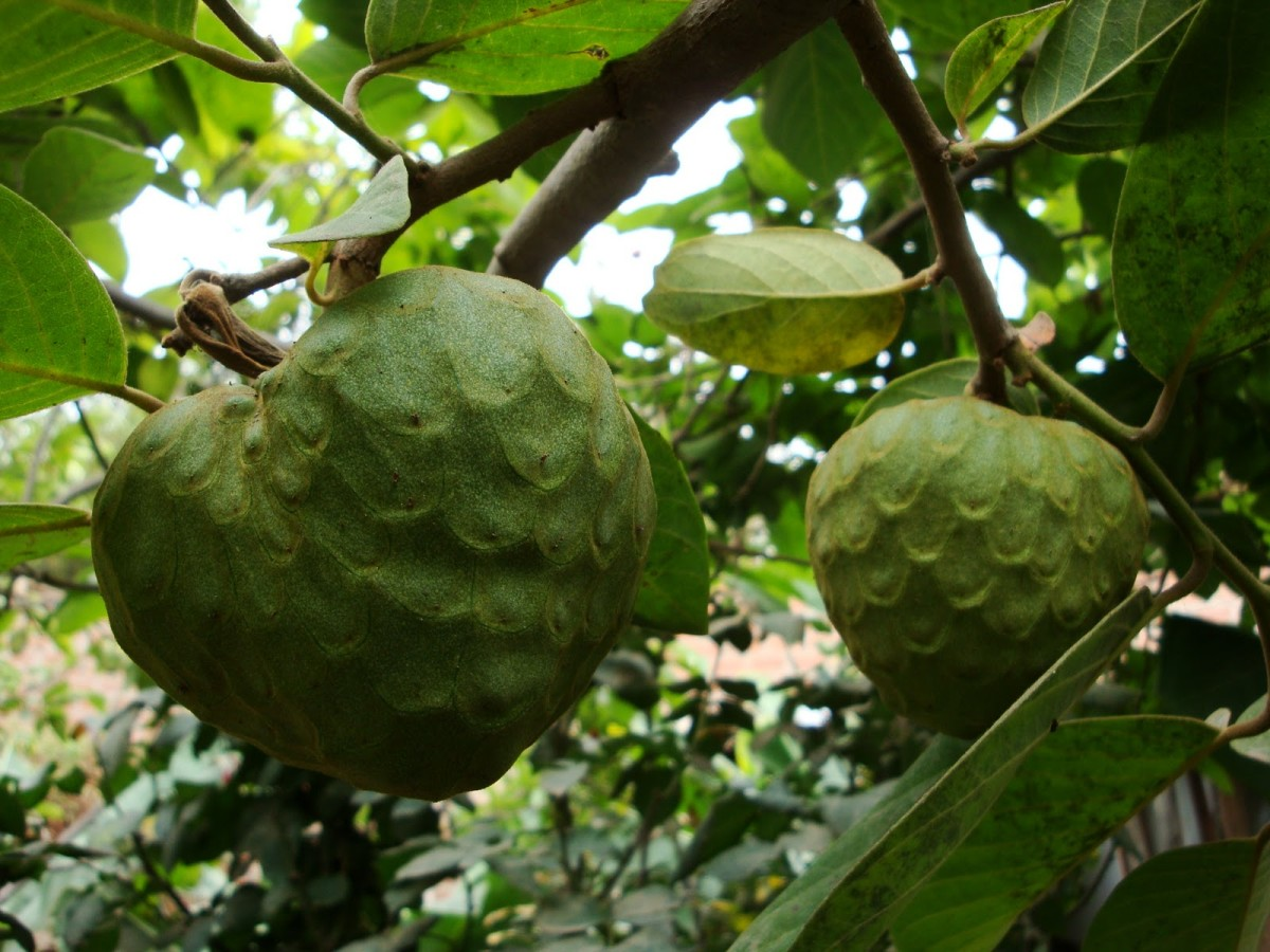 Cherimoya Tree and it's Large Fruit.