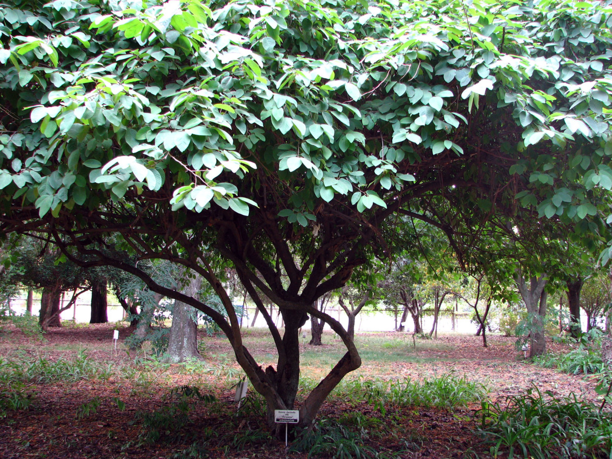 bushy and wide spreading branches, cherimoya are predominantly an evergreen tree.